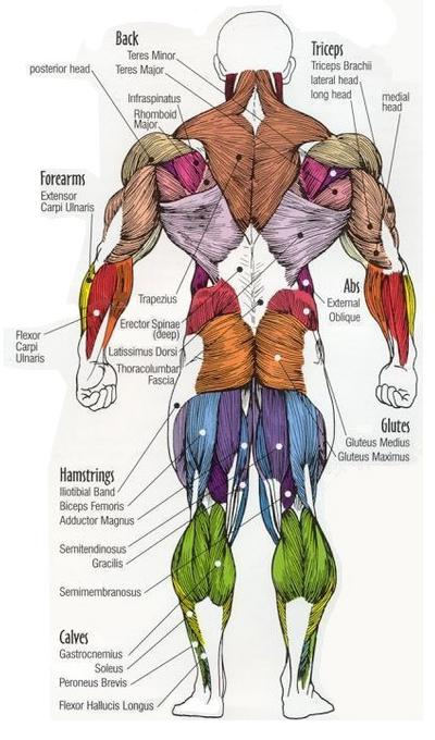Posterior Muscles Groups